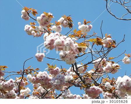 八重の桜は遅咲きのサクラ 30105626