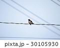 燕 電線 鳥の写真 30105930
