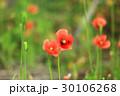 ポピー アイスランドポピー シベリア雛芥子の写真 30106268