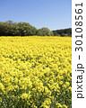 菜の花畑 菜の花 花畑の写真 30108561