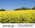 菜の花畑 菜の花 花畑の写真 30108567