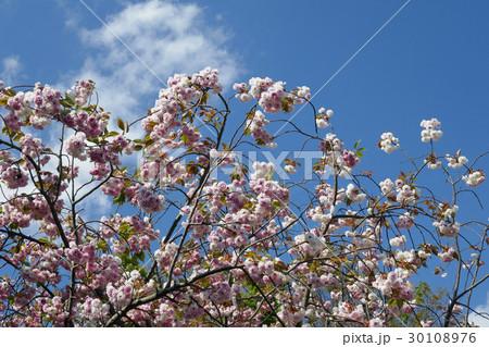東京競馬場日吉が丘の八重桜 30108976
