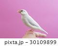 パステルシルバー文鳥 30109899