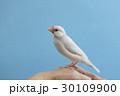パステルシルバー文鳥 30109900