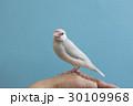 パステルシルバー文鳥 30109968
