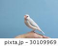 パステルシルバー文鳥 30109969