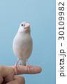 パステルシルバー文鳥 30109982