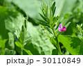 カラスノエンドウ 花 野草の写真 30110849