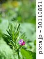 カラスノエンドウ 花 野草の写真 30110851