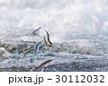 鮎の天然遡上 30112032
