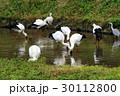 コウノトリ コウノトリの郷公園 野鳥の写真 30112800