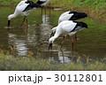コウノトリ 野鳥 特別天然記念物の写真 30112801