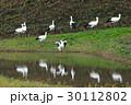 コウノトリ コウノトリの郷公園 野鳥の写真 30112802
