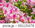 【東京都】満開のツツジ 30115478