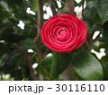 花 椿 クローズアップの写真 30116110