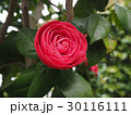 花 椿 クローズアップの写真 30116111