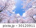 桜・満開 30120911
