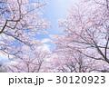 桜・満開 30120923