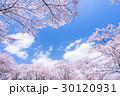 桜・満開 30120931