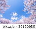 桜・満開 30120935