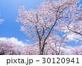 桜・満開 30120941