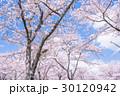 桜・満開 30120942