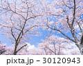 桜・満開 30120943