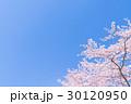 桜・満開 30120950