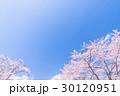 桜・満開 30120951