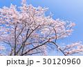 桜・満開 30120960