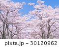 桜・満開 30120962