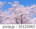 桜・満開 30120963