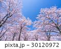 桜・満開 30120972