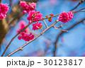 桜 さくら サクラの写真 30123817