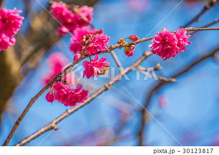 桜 さくら サクラ 30123817