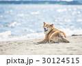 浜辺でウィンクする柴犬 30124515
