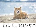 砂浜でくつろぐ柴犬 30124517