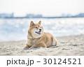 柴犬 犬 海の写真 30124521
