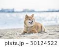 柴犬 犬 海の写真 30124522