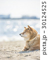 柴犬 犬 海の写真 30124525