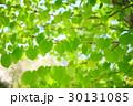 春 若葉 新葉の写真 30131085