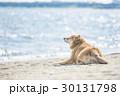 海風を感じる柴犬 30131798