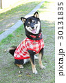 柴犬 犬 黒柴の写真 30131835