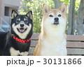 柴犬 犬 黒柴の写真 30131866