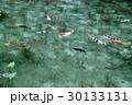 モネの池 池 鯉の写真 30133131