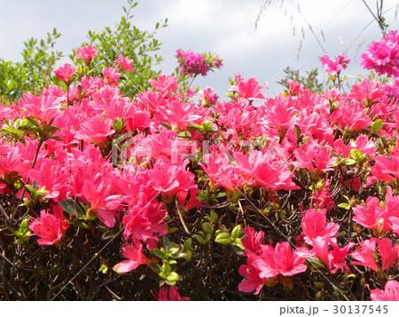 四月に咲くのはツツジの赤色の花 30137545