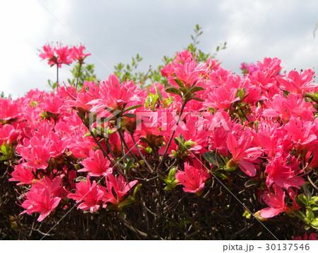四月に咲くのはツツジの赤色の花 30137546