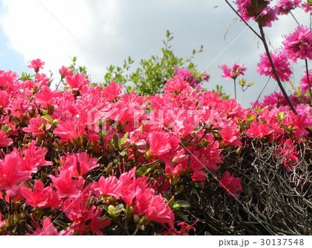 四月に咲くのはツツジの赤色の花 30137548