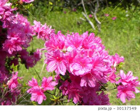 四月に咲くのはツツジの桃色の花 30137549