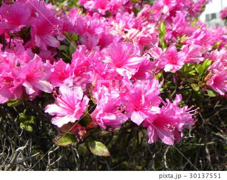 四月に咲くのはツツジの桃色の花 30137551